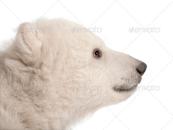 Polar bear cub, Ursus maritimus, 3 months old, against white background - Stock Photo - Images