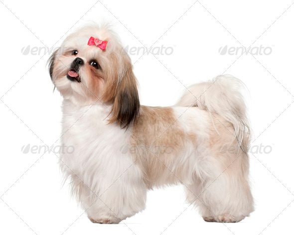 Shih Tzu standing against white background - Stock Photo - Images