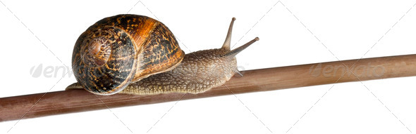 Garden Snail, Helix aspersa, on branch against white background - Stock Photo - Images