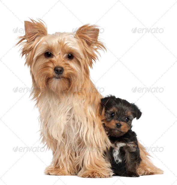 Female Yorkshire Terrier and her puppy sitting against white background - Stock Photo - Images