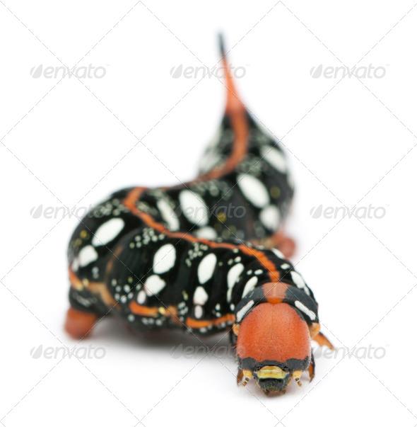 Spurge Hawk, Hyles Euphorbiae, caterpillar against white background - Stock Photo - Images