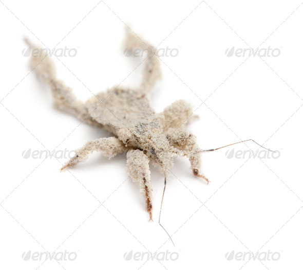 Young masked hunter, Reduvius personatus, covered in dust against white background - Stock Photo - Images