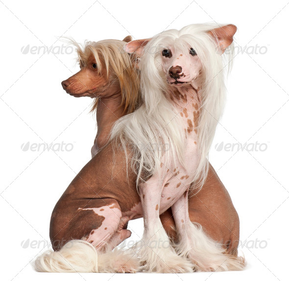 Chinese Crested Dogs, 11 and 16 months old, sitting against white background - Stock Photo - Images