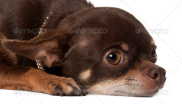 Chihuahua, 3 years old, lying against white background - Stock Photo - Images