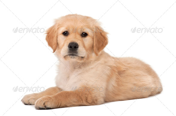 Golden Retriever puppy, 2 months old, lying against white background - Stock Photo - Images
