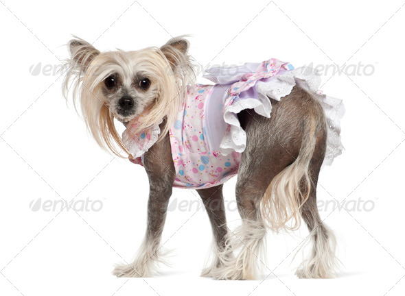 Chinese Crested Dog, 2 years old, standing against white background - Stock Photo - Images