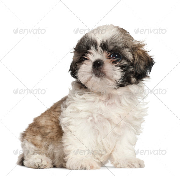 Shih Tzu puppy, 2 months old, sitting against white background - Stock Photo - Images