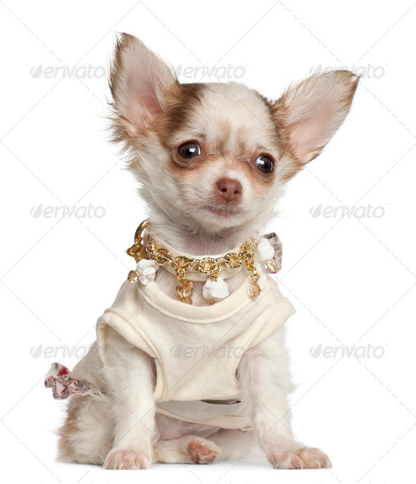 Chihuahua puppy, 12 weeks old, sitting against white background - Stock Photo - Images