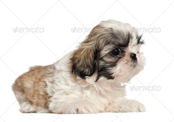 Shih Tzu puppy, 2 months old, lying against white background - Stock Photo - Images