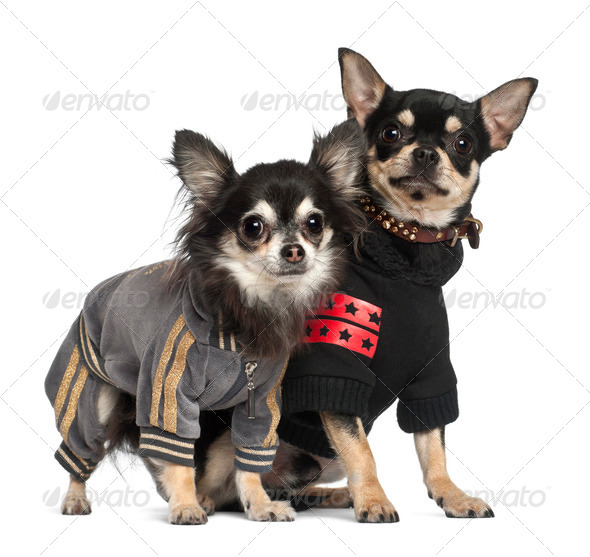 Chihuahuas standing against white background - Stock Photo - Images