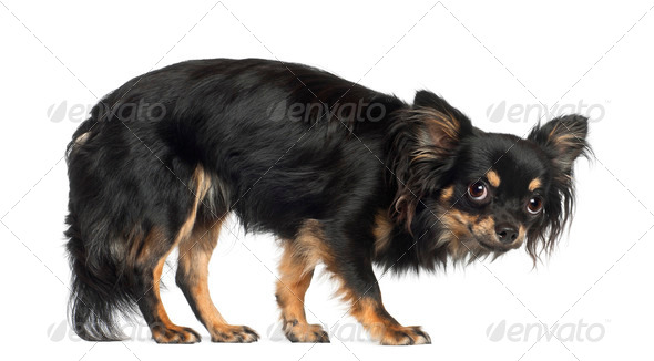 Chihuahua, standing against white background - Stock Photo - Images