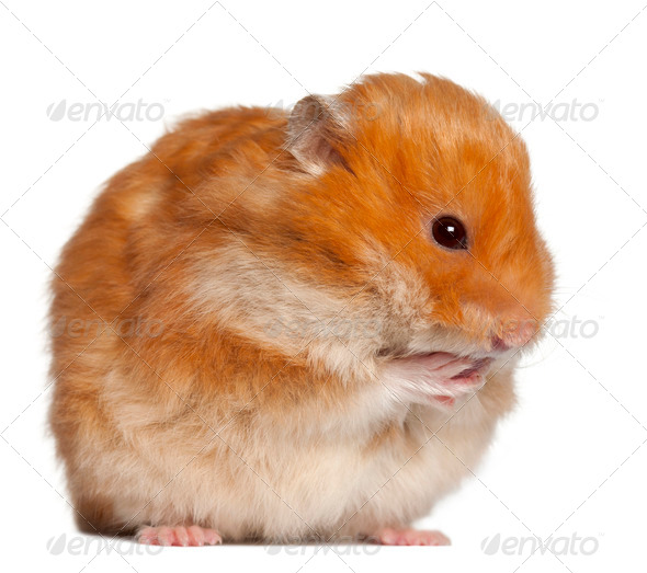 Hamster sitting against white background - Stock Photo - Images