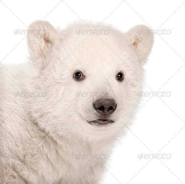 Polar bear cub, Ursus maritimus, 3 months old, against white background - Stock Photo - Images