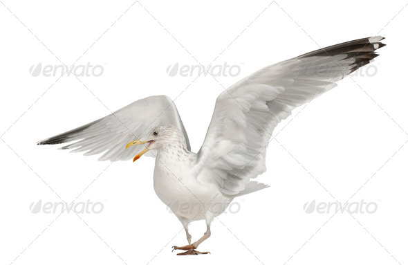European Herring Gull, Larus argentatus, 4 years old, walking against white background - Stock Photo - Images