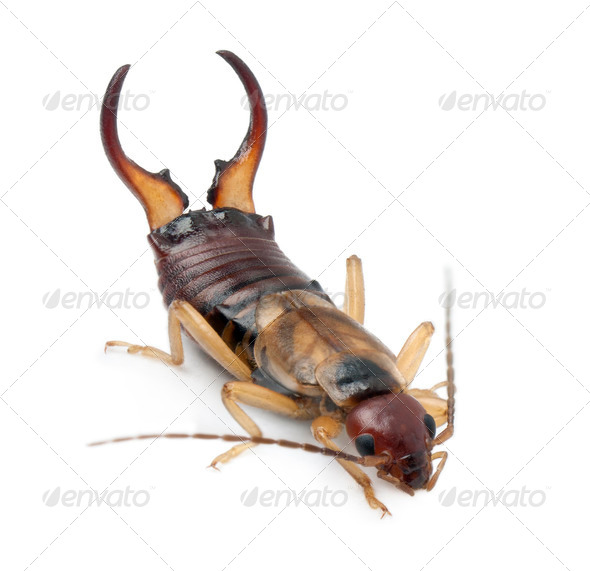 Common earwig or European earwig, Forficula auricularia against white background - Stock Photo - Images