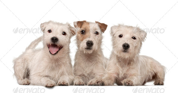Group of Parson Russell Terriers lying against white background - Stock Photo - Images