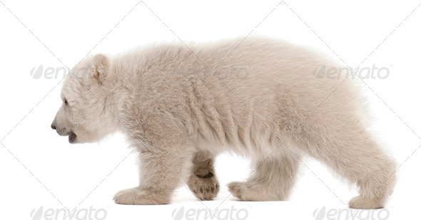 Polar bear cub, Ursus maritimus, 3 months old, walking against white background - Stock Photo - Images