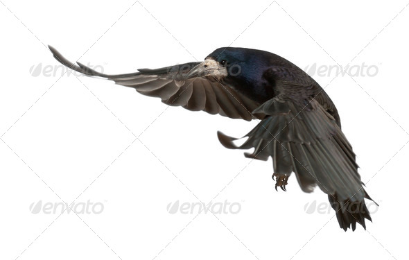 Rook, Corvus frugilegus, 3 years old, flying against white background - Stock Photo - Images