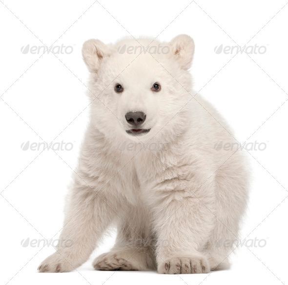 Polar bear cub, Ursus maritimus, 3 months old, standing against white background - Stock Photo - Images