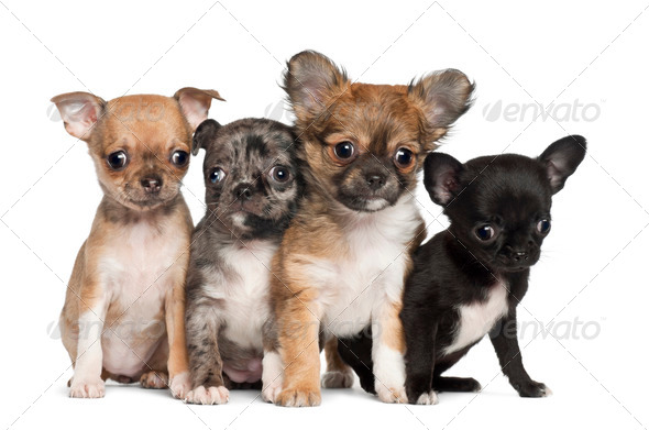 Group of Chihuahua puppy, 3 months old, sitting against white background - Stock Photo - Images