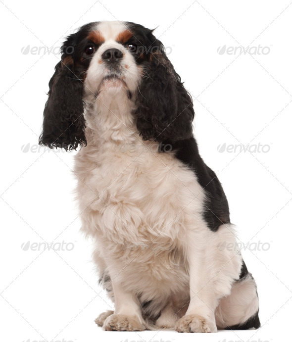 Cavalier King Charles, 3 years old, sitting against white background - Stock Photo - Images