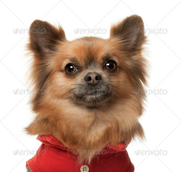 Chihuahua, 3 years old, against white background - Stock Photo - Images