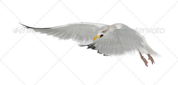 European Herring Gull, Larus argentatus, 4 years old, flying against white background - Stock Photo - Images