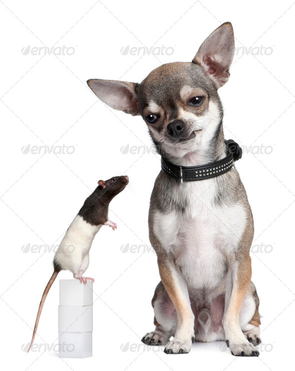 Chihuahua and a rat sitting against white background - Stock Photo - Images
