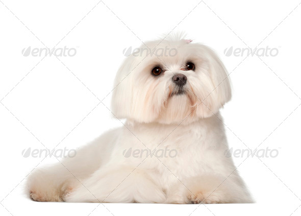 Maltese, 1 year old, lying against white background - Stock Photo - Images