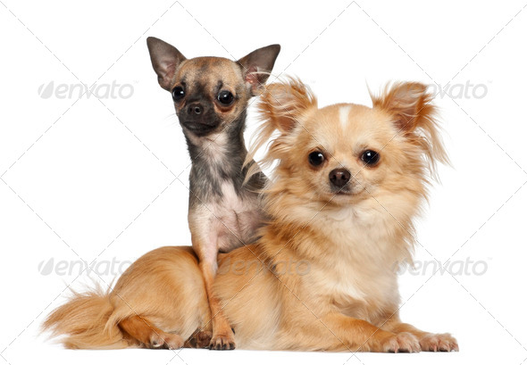 Chihuahuas lying against white background - Stock Photo - Images