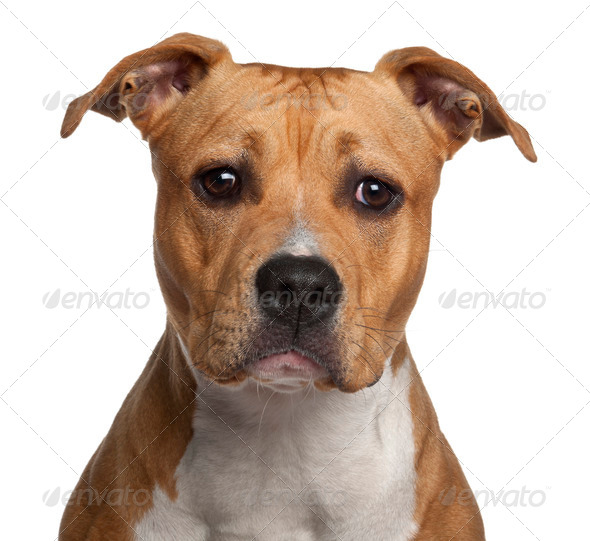 American Staffordshire Terrier, 8 months old, against white background - Stock Photo - Images