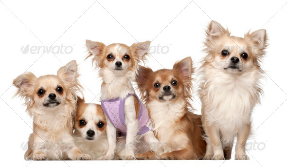 Chihuahuas, 10 months and 3 years old, sitting against white background - Stock Photo - Images