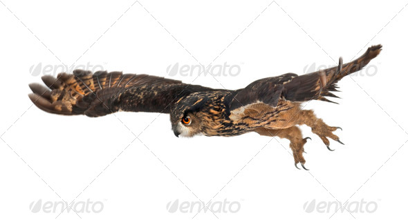 Eurasian Eagle-Owl, Bubo bubo, 15 years old, flying against white background - Stock Photo - Images