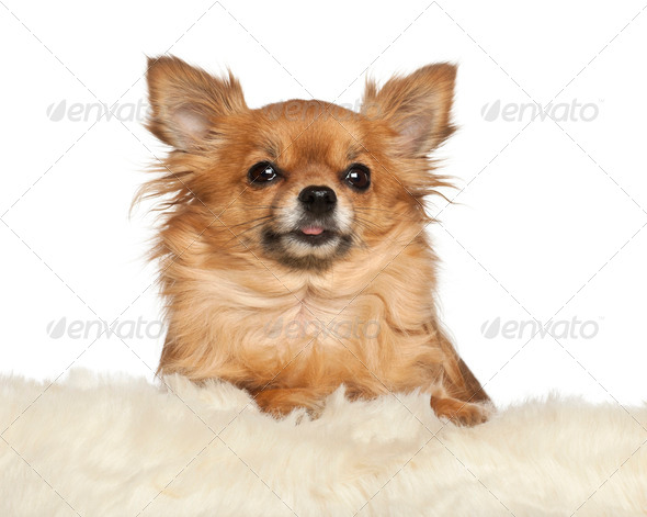Chihuahua leaning on fur cushion against white background - Stock Photo - Images