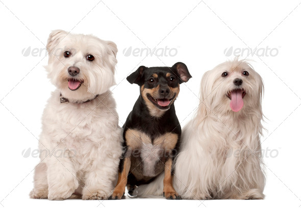Maltese dogs, 9 years old and mixed-breed, 2 years old, sitting against white background - Stock Photo - Images