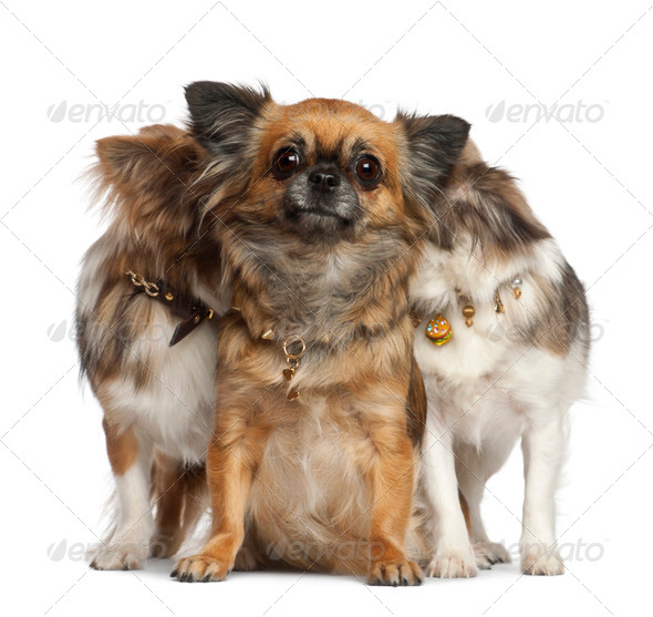 Chihuahuas with two hiding behind, sitting against white background - Stock Photo - Images
