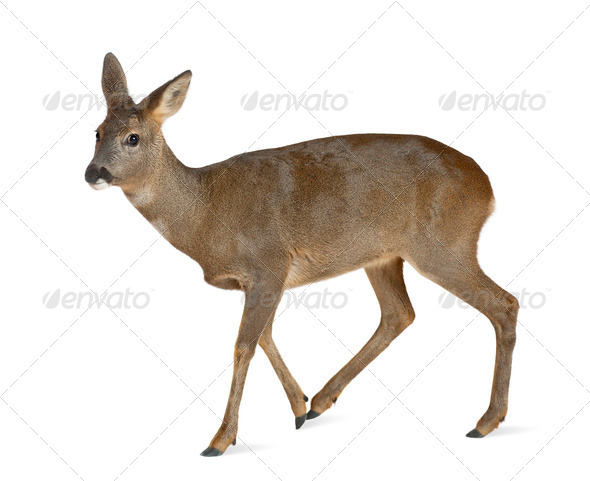 European Roe Deer, Capreolus capreolus, 3 years old, walking against white background - Stock Photo - Images