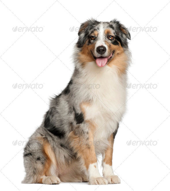 Australian Shepherd, 2 years old, sitting against white background - Stock Photo - Images