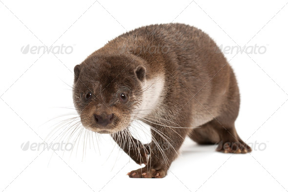 European Otter, Lutra lutra, 6 years old, walking against white background - Stock Photo - Images