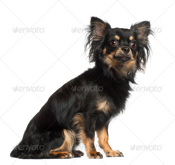 Chihuahua, 1 year old, sitting against white background - Stock Photo - Images