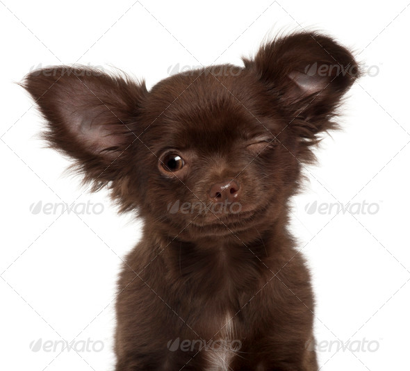 Chihuahua puppy, 3 months old, winking against white background - Stock Photo - Images