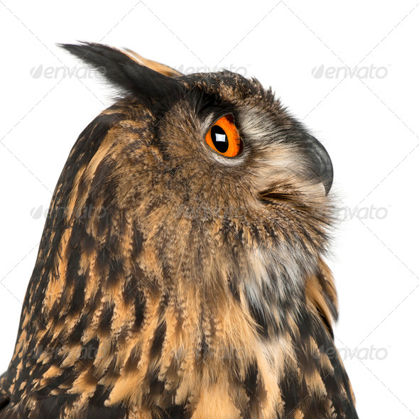Eurasian Eagle-Owl, Bubo bubo, 15 years old, against white background - Stock Photo - Images