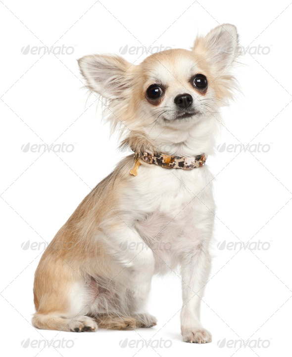 Chihuahua, 3 years old, sitting against white background - Stock Photo - Images