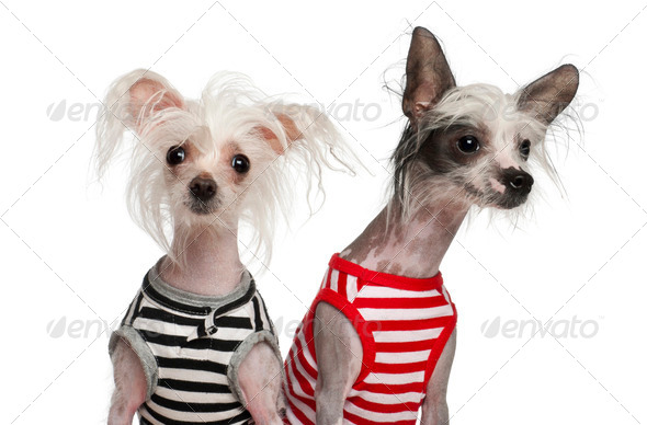 Chinese Crested Dogs, 10 and 18 months old, sitting against white background - Stock Photo - Images