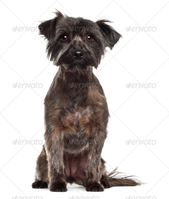 Yorkshire Terrier, 2 years old, sitting against white background - Stock Photo - Images