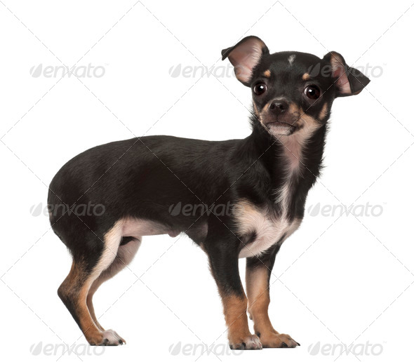 Chihuahua puppy, 4 months old, standing against white background - Stock Photo - Images