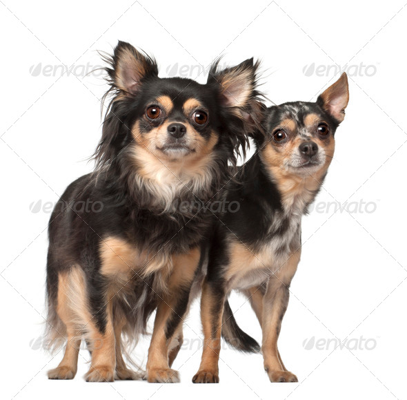 Chihuahuas, 4 and 2 years old, standing against white background - Stock Photo - Images