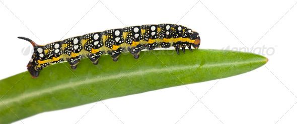 Spurge Hawk, Hyles Euphorbiae, caterpillar, 3 weeks on leaf against white background - Stock Photo - Images