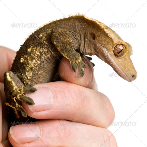 New Caledonian Crested Gecko, Rhacodactylus ciliatus, climbing on hand against white background - Stock Photo - Images