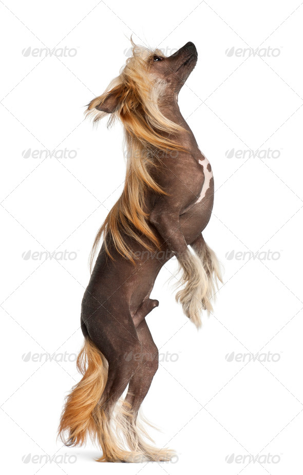 Chinese Crested Dog, 9 months old, standing against white background - Stock Photo - Images